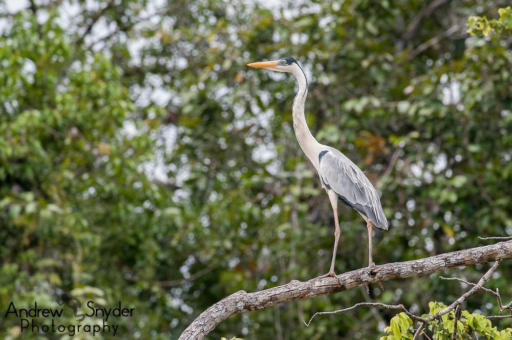 A cocoi heron (Ardea cocoi) perched along the Rupununi River, Guyana.