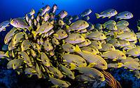 oriental sweetlips (Plecorhinchus orientalis), gather around coral outcrops Raja Ampat