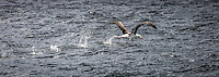 Black-browed Albatross takes off on the waters of the Beagle Channel, South America.