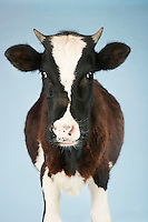 Cow against blue background front view