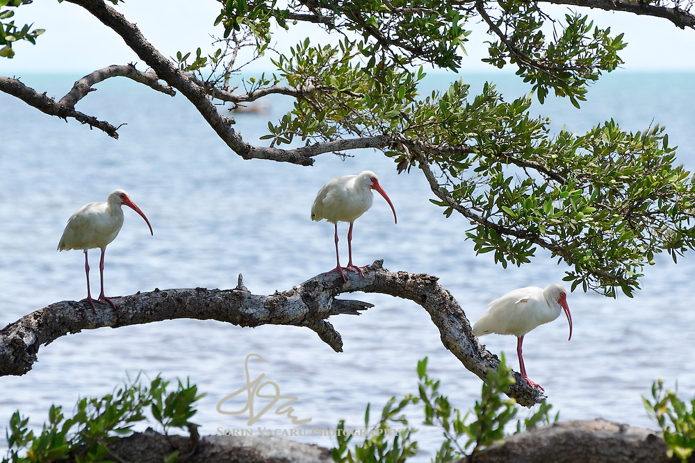 Ibises Perched on a Tree Branch