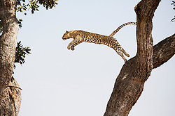 A leopard (Panthera pardus) leaping from tree to tree,  Chobe National Park,Botswana, Africa