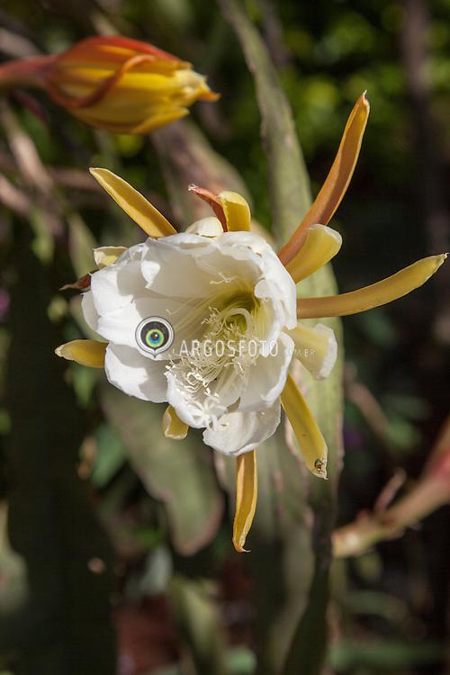 Flor do mandacaru (Cereus jamacaru), tambem conhecido como cardeiro e jamacaru.Planta da familia das Cactaceae, genero cactus. Arbustiva, xerofita, nativa do Brasil./ Flower of Cereus jamacaru, known as mandacaru or cardeiro,is a cactus. Ano 2013. Crissiumal, RS. Foto Adri Felden/Argosfoto