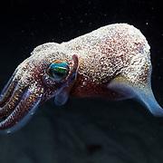 Mimika bobtail squid (Euprymna morsei)