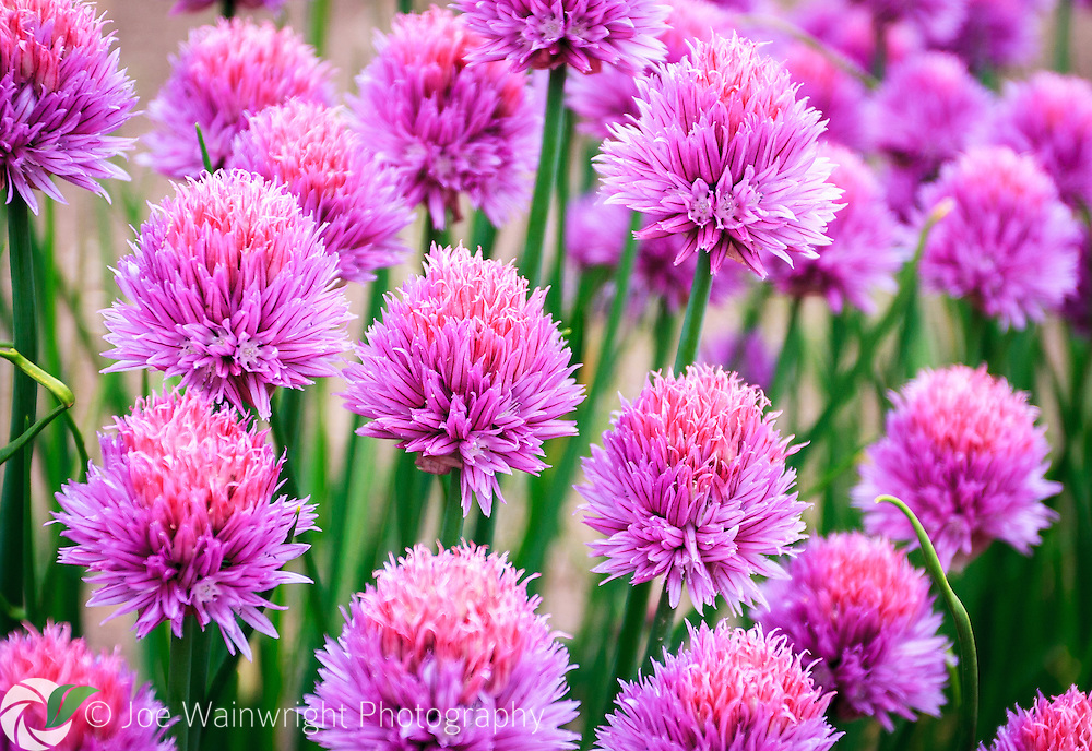Chives - Allium schoenoprasum - in flower, providing a splash of colour in a kitchen garden at the start of the summer.