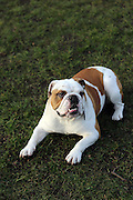 This is Frankie the English Bulldog