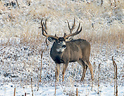 Large Mule Deer buck in autumn habitat.