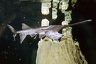 Paddlefish<br /> <br /> ENGBRETSON UNDERWATER PHOTO