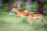 Maasai Mara Impala (Aepyceros melampus) runs fast through the grass in the Maasai Mara National Reserve, Kenya