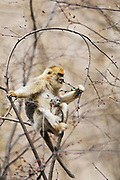 Golden snub-nosed monkey (Rhinopithecus roxellana qinlingensis) female with newborn feeding on tree buds, Zhouzhi, Shaanxi, China.