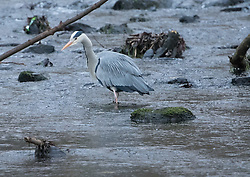 Bird in Figgate Park, Portobello, Edinburgh Pictured: Heron<br /> <br /> <br /> © Jon Davey/ EEm