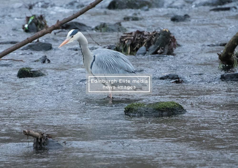 Bird in Figgate Park, Portobello, Edinburgh Pictured: Heron<br /> <br /> <br /> © Jon Davey/ EEm