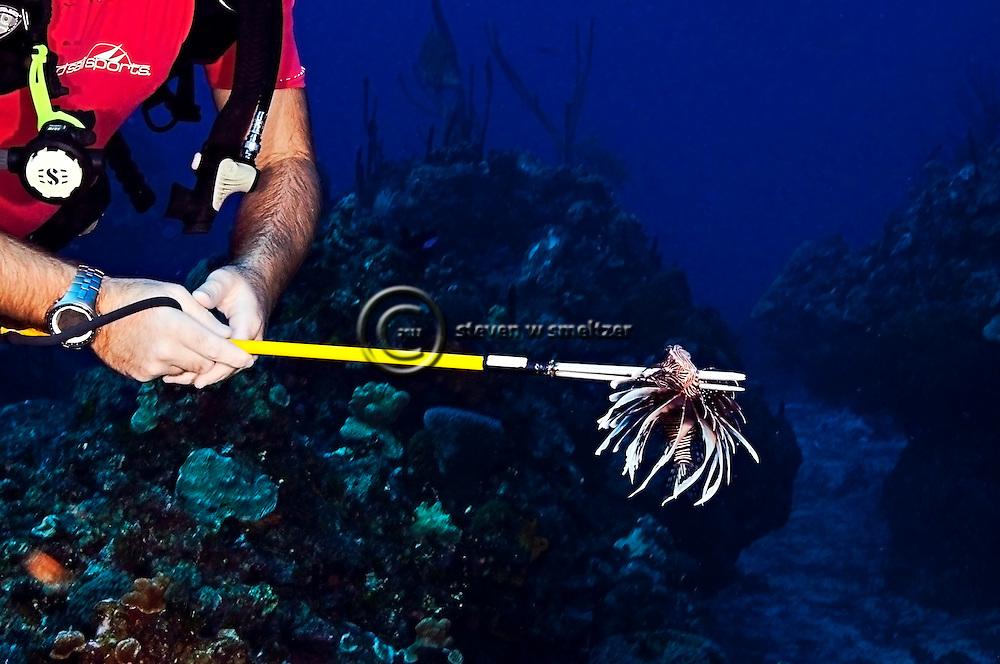 Killing Lionfish, Pterois volitans, (Linnaeus 1758), Grand Cayman