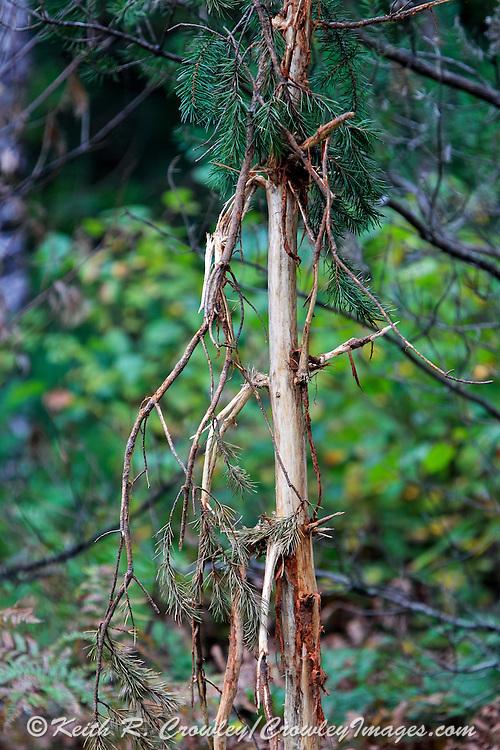 Fresh antler rubs in northern Wisconsin.