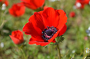 Anemone coronaria AKA Spanish marigold or Kalanit (in Hebrew). Photographed in Israel