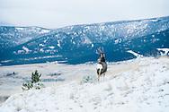 Mule Deer, Buck