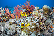 Clown fish (Amphiprion bicinctus) and sea anemone (Actiniaria), Red Sea, Sudan