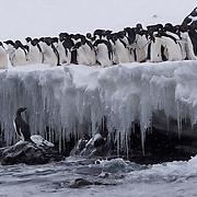 Adelie Penguin colony along icy edge at Hope Bay, Trinity Peninsula. Antarctica.