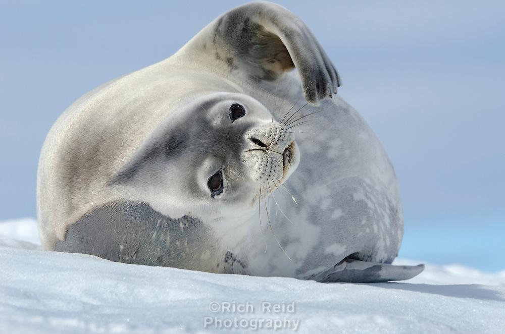 Weddell seal, Leptonychotes weddellii on the shore in Mikkelsson Harbor on Trinity Island in Antarctica.