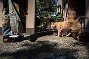 JAPAN, TOKYO, April 2013 - Un chat marche vers une japonaise chaussée de geta traditionnelles.