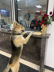 """A dog reported itself to police when it had lost its owner. <br /> <br /> Chico the German Shepherd put its paws up on the reception at Odessa Police Department in Texas on 11 February. <br /> <br /> Staff later found out the cheeky canine returned safely to its owner. <br /> <br /> Support Our Permian Basin Police Officers reported: """"So.... this happy guy randomly strolled into the front desk of the Police Department last night. We're thinking he wanted to apply for a K-9 position after eliminating a Lassie type situation. He was given lots of love and attention until he decided it was time for him to leave. He let himself out and after an exhausting search was not found. We were relieved to learn he safely returned to his owner. Chico is welcome back anytime.""""<br /> <br /> When: 11 Feb 2020<br /> Credit: Support Our Permian Basin Police Officers/Cover Images<br /> <br /> **Editorial use only**"""