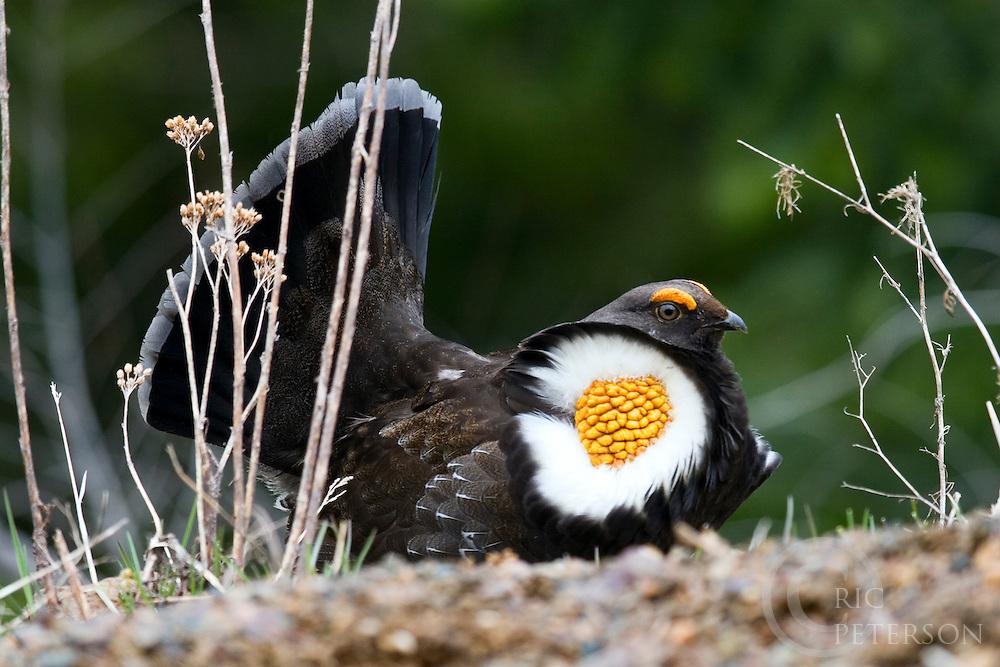 Male bird showing plummage during mating season