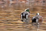 American Wigeon, Anas americana, males sleeping, New Mexico