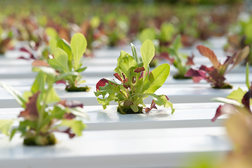 Greenhouse of Hydroponic Lettuce seedlings