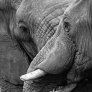 Two adult male elephants make facial contact and in a human sence seem to express concern, © 2019 David A. Ponton