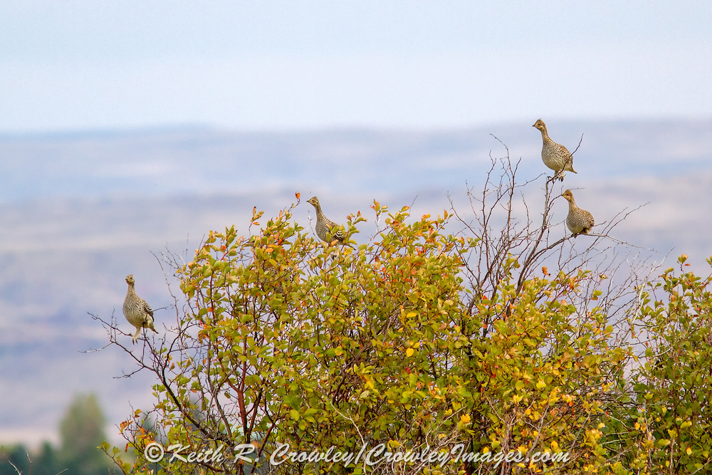 Sharptailed grouse Budding in Hawthorn Bush