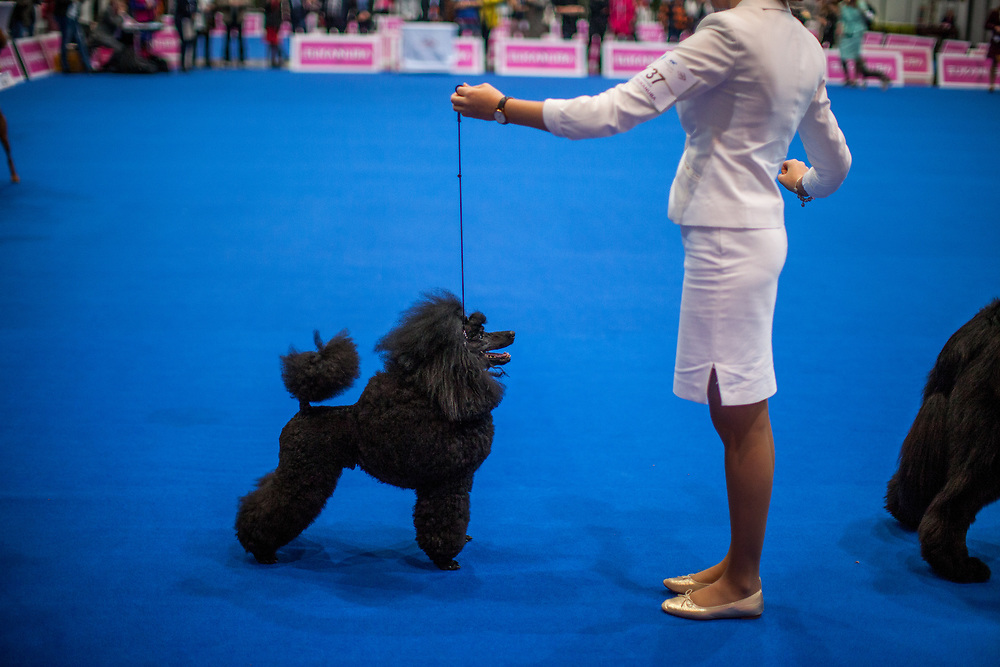 A black medium poodle during a ring competition at the Leipzig Trade Fair. Over 31,000 dogs from 73 nations will come together from 8-12 November 2017 in Leipzig for the biggest dog show in the world.