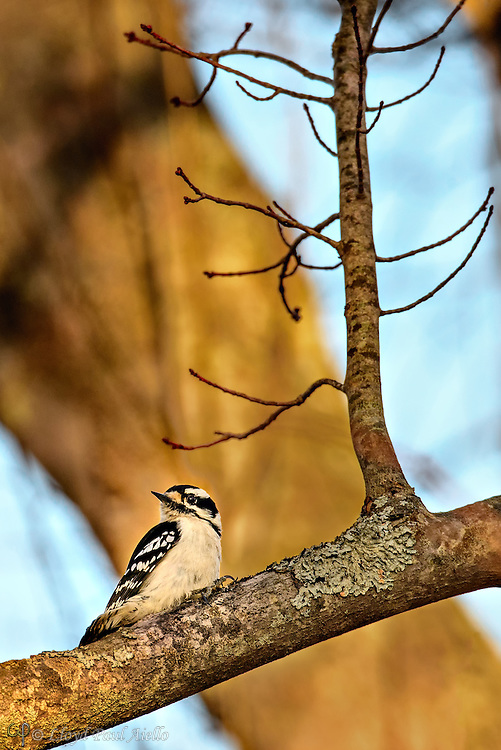 The  Downy Woodpecker is the smallest of North America's woodpeckers being 5.5 - 7.1 inches long with a wingspan of 9.8 to 12 inches and weighing 0.7 to 1.2 ounces.  Like other woodpeckers, the Downy Woodpecker also produces a drumming sound with its beak as it pecks into trees in search of food.  However, compared to other North American species its drums are slow. Downy Woodpeckers pick the bark surface in summer and dig deeper in winter. They mainly eat insects, however, they will also consume seeds and berries. In winter, Downy Woodpeckers roost in tree cavities.