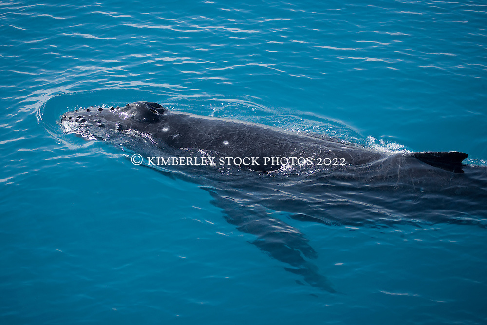 Humpback whale calf near Hull Banks in Camden Sound.