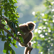 A wild Lar Gibbon (Hylobates lar), also known as the White-handed Gibbon, is a primate in the Hylobatidae or gibbon family. This wild animal is pictured in the Kaeng Krachan National Park in Thailand.