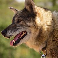 Alaskan husky head-&-shoulders