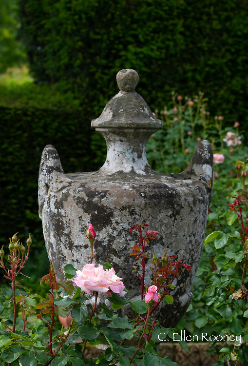 Rosa 'The Lady's Blush' next to a stone urn in the Laskett Gardens, Much Birch, Herefordshire, UK