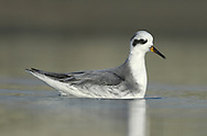 Grey Phalarope - Phalropus lobatus - Winter Adult. Grey Phalarope - Phalropus lobatus - Winter Adult. L 20-21cm. Confiding wader that habitually swims and spends its non-breeding life at sea. Bill is shorter and stouter than similar Red-necked, and has yellow base. Sexes are dissimilar in breeding plumage (seen here occasionally). Winter adult has grey upperparts, white underparts, dark cap and nape, and black 'panda' mark the eye. Adult female in summer has orange-red neck and underparts, dark crown, white face patch, and buff-fringed dark back feathers. Adult male in summer is similar but duller. Juvenile recalls winter adult but plumage is tinged buff and back feathers are dark with buff fringes. Voice Utters a sharp pit flight call. Status Nests in high Arctic, winters in tropical seas and seen here on migration, mostly in autumn but sometimes spring. Mainly coastal but sometimes on reservoirs.