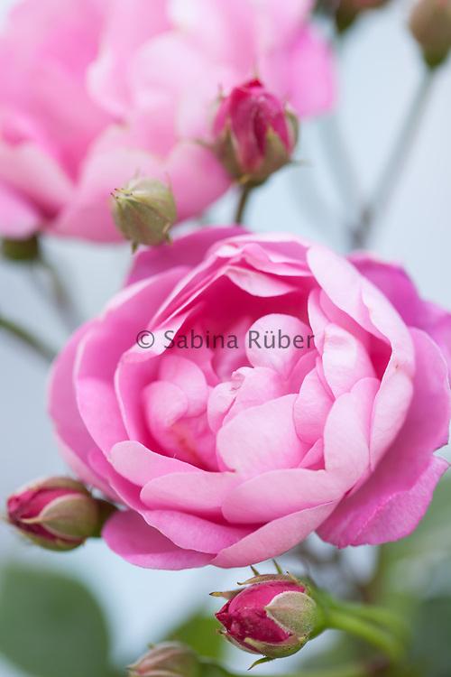 Rosa macrantha 'Raubritter' - ground cover rose