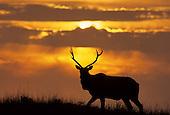 Wildlife: Elk, Tule Elk