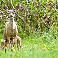 doe new born fawn with spots in grass