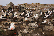 Black-browed Albatross (Thalassarche melanophrys) in section of the colony which is being studied.  Long term research project to investigate the reasons why the population is in decline. Whether it be in the adult stock, chick recruitment into the population or sub-adult mortality. Birds are ringed to identify individuals which is also showing high pair and nest site fidelity. During research period the birds are marked with orange paint to observe their location at sea and to ensure that each bird in the study area is censused which allows for less handling during the season.<br /> Steeple Jason Island. FALKLAND ISLANDS.<br /> They return to the same nest annually. The nest is a a solid pillar up to 50cm high of mud and guano with some grass and seaweed incorporated. A single egg is laid in October and juveniles fledge between mid March and April. They have a circumpolar range betweeen 65 S and 20 south and breed on Subantarctic Islands, Including South Georgia and islands off southern South America. In the Falklands they are also found on Beauchene, Saunders, West Point and New Island.<br /> The Jasons (Grand, Elephant and Steeple) are a chain of islands 40 miles (64km) north and west off West Falkland towards Patagonia. Steeple is 6 by 1 mile (10Km by 1.6km) in size. From the coast the land rises steeply to a rocky ridge running along the length. <br /> THIS ISLAND HAS THE LARGEST BLACK-BROWED COLONY IN THE WORLD WITH 100,000+ PAIRS. The island is owned by WCS (Wildlife Conservation Society) Falklands Conservation have an ongoing research project with the Albatross on Steeple Jason.<br /> LISTED AS ENDANGERED