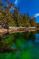 Sea kelp in clear waters in Magoun Islands State Marine Park, Krestof Sound, southeast Alaska USA.