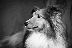 Sheltie Shetland Sheepdog sable & white - owner Michelle Lathrop