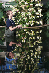 "Royal Botanic Gardens.""Orchids"" The Princess of Wales Conservatory has been transformed with a sea of glorious flowers  over 4,500 orchids have been used for the show.Pic Shows Ashleigh Davis Horticulturist putting the finishing touches to the  Phalaenopsis variety, Kew Gardens, London, UK, February 7, 2013. Photo by i-Images"