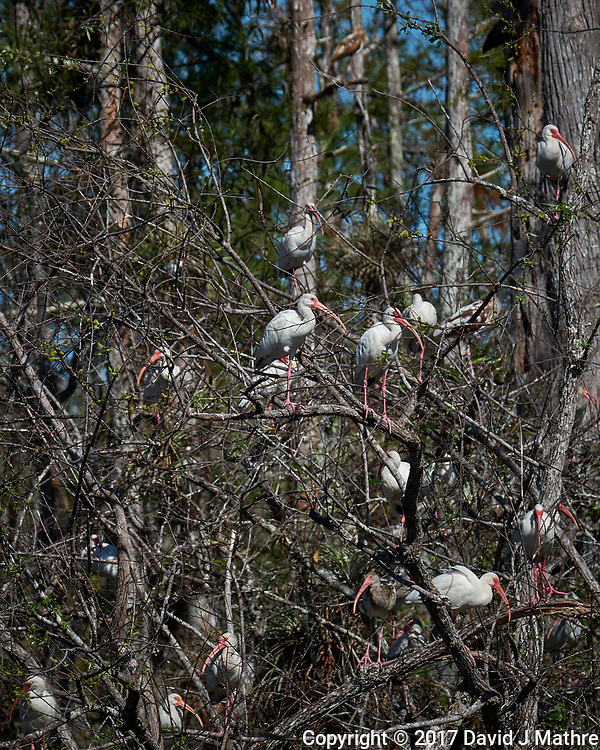 White Ibis along the Loop Road in Big Cypress National Preserve. Winter Nature in Florida Image taken with a Fuji X-T2 camera and 100-400 mm OIS telephoto zoom lens.
