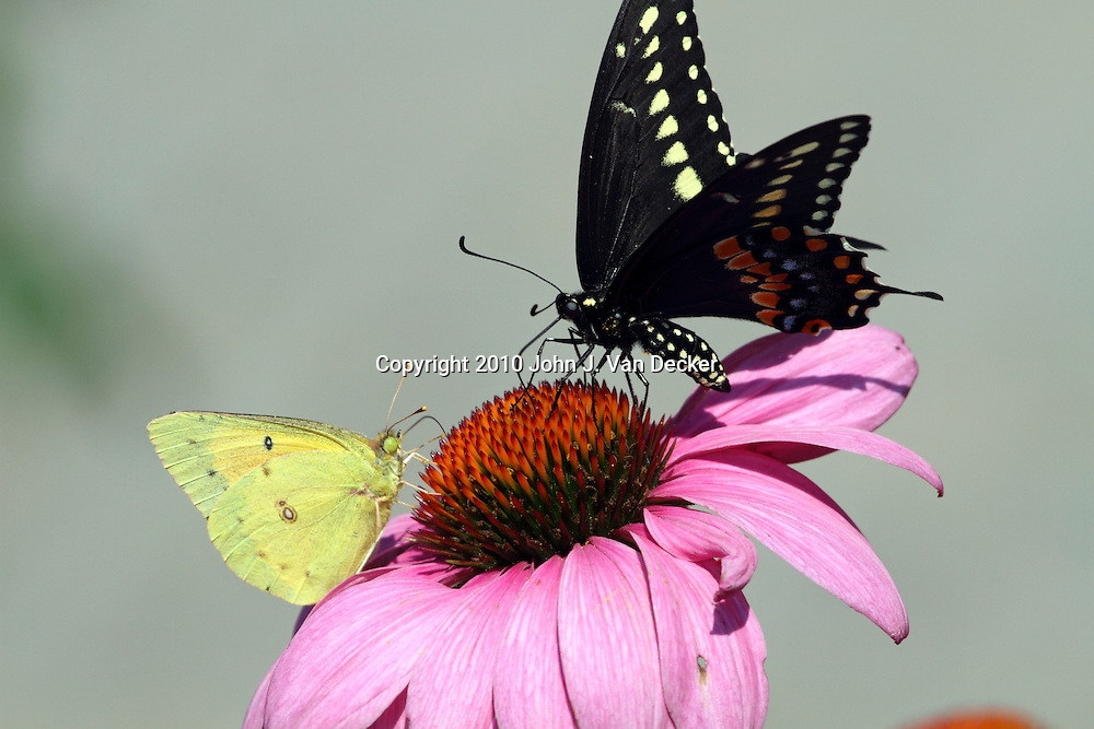 Black Swallowtail Butterfly, Papilio polyxenes, and a Common Sulfur Butterfly, Colias philodice, feeding together on a Purple Coneflower, Echinacea purpurea. New Jersey, USA, North America