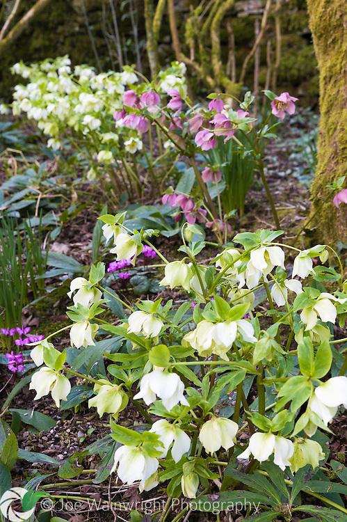 Early spring, with hellebores and cyclamen, at Sizergh Castle, Cumbria