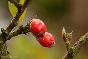 Ripe hawthorn berries cling to the branch tip, waiting for a bird or mammal to eat the fruit and disperse the seed.