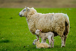 Sheep with her lambs in spring<br /> <br /> (c) Andrew Wilson | Edinburgh Elite media