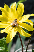 Photo yellow wildflower and bee, matted print, wall art, close up. California nature, hiking, garden, photography. Santa Monica, Westside, Venice, Los Angeles, Fine art photography limited edition.